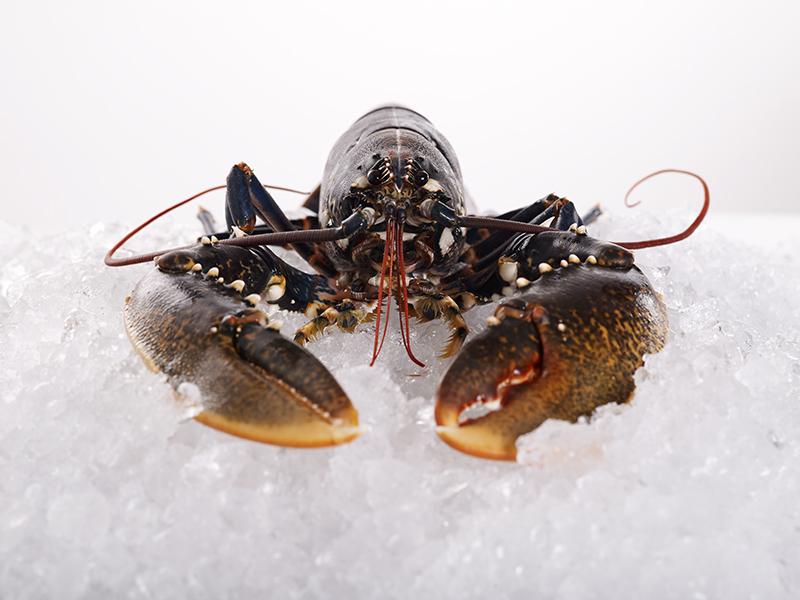 Lobster-01